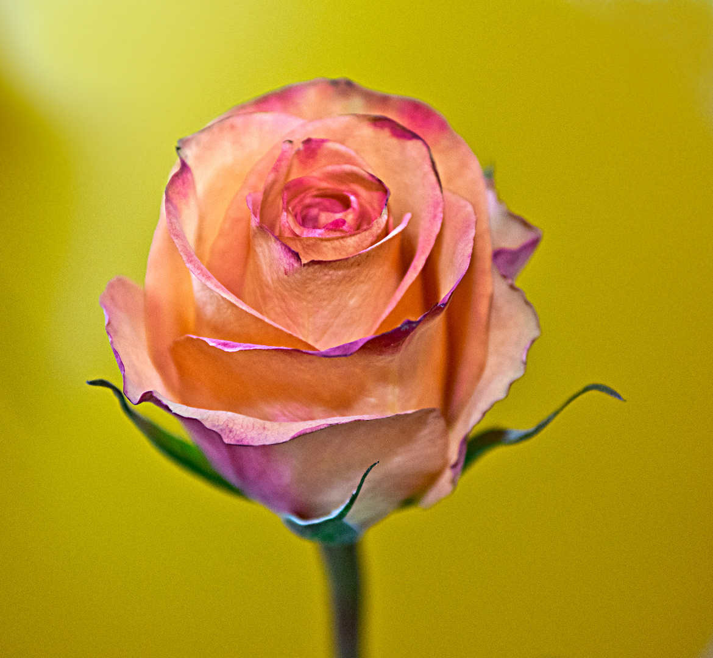 einzelene Rosenblüte
