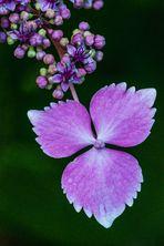 Einzelne Hortensienblüte