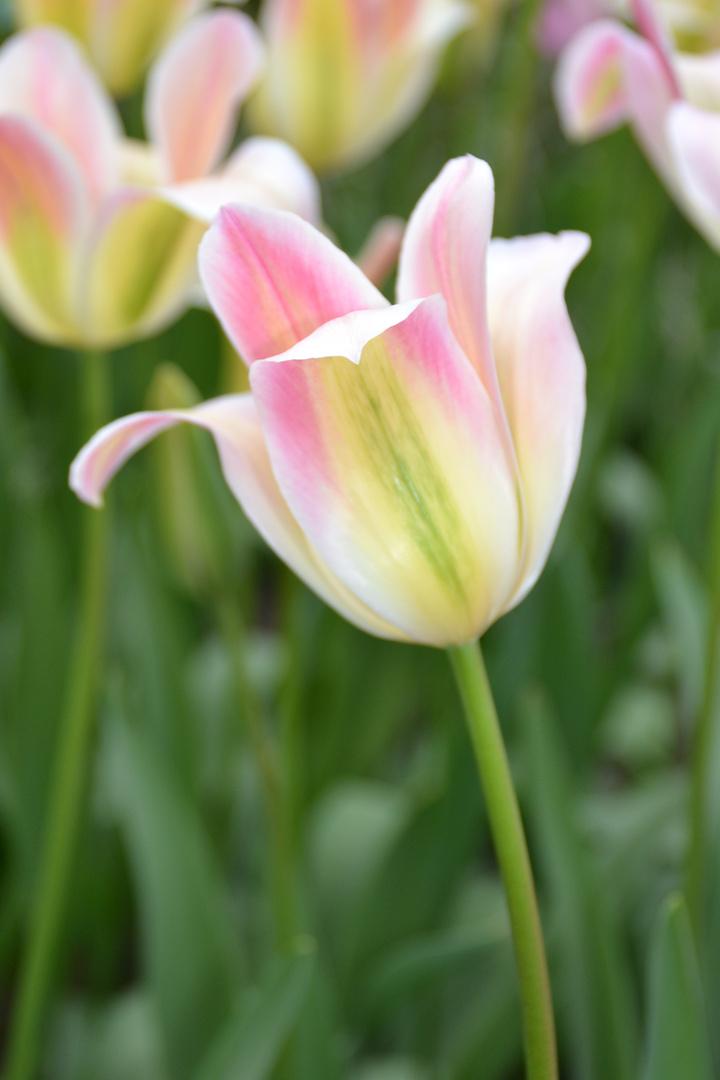 einzelne Tulpe