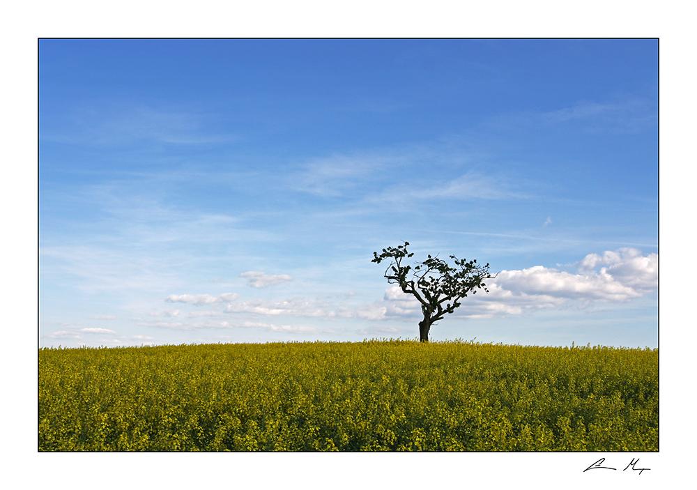 Einzelner Baum im Rapsfeld