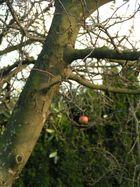 Einzigster Apfel im Winter