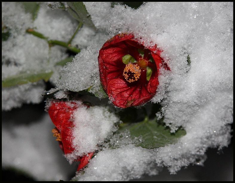 Eis-Blume