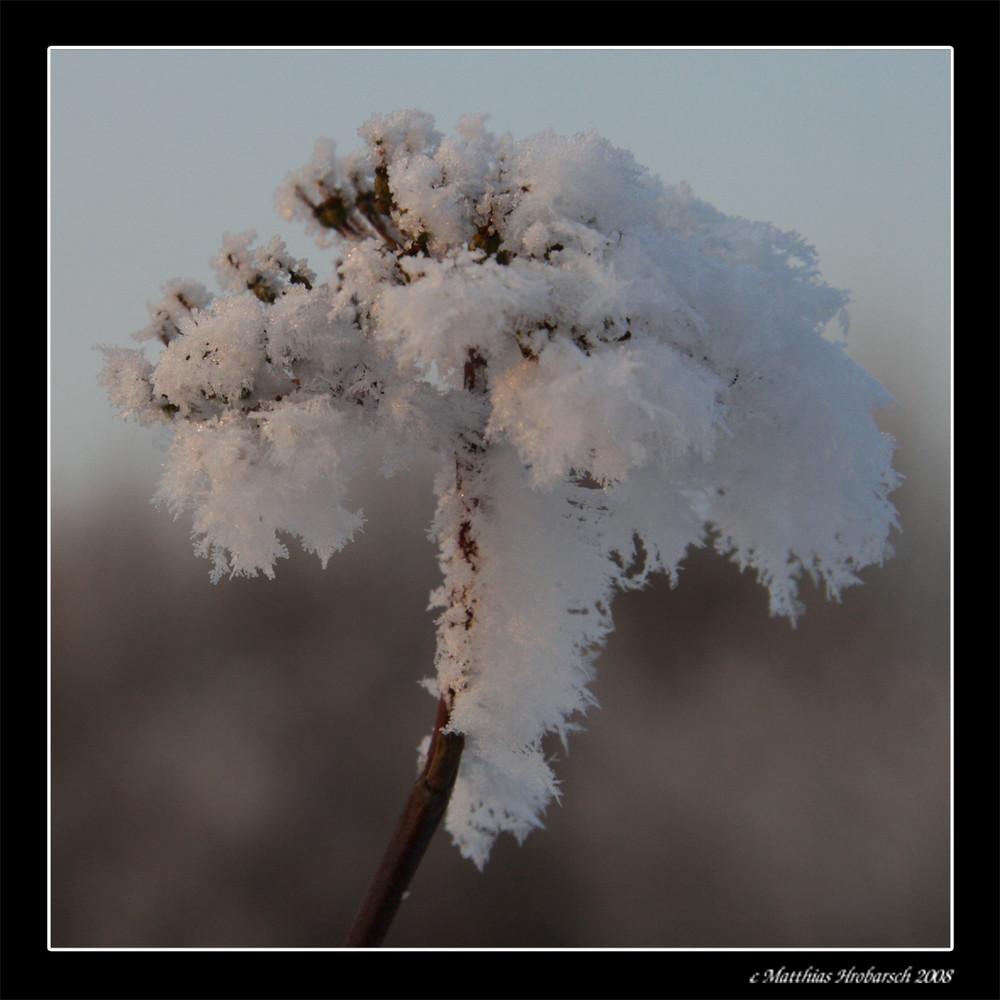 Eis - Blume