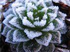 Eis-Kaktus