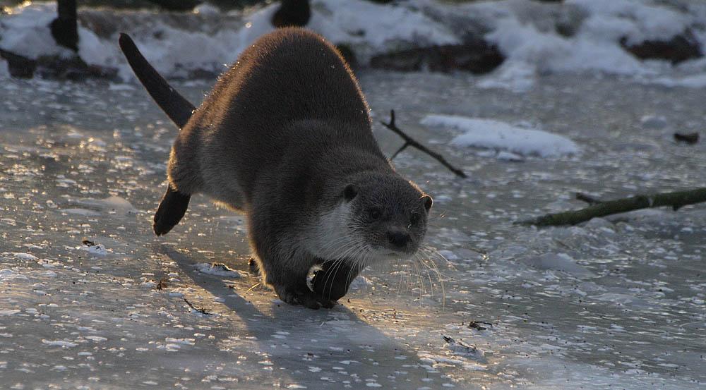 Eis-Otter