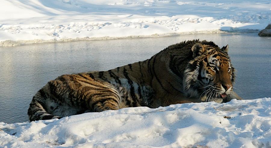 EIS -Tiger ALEX !!!