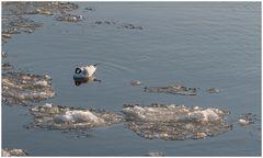 Eisbad in der Elbe