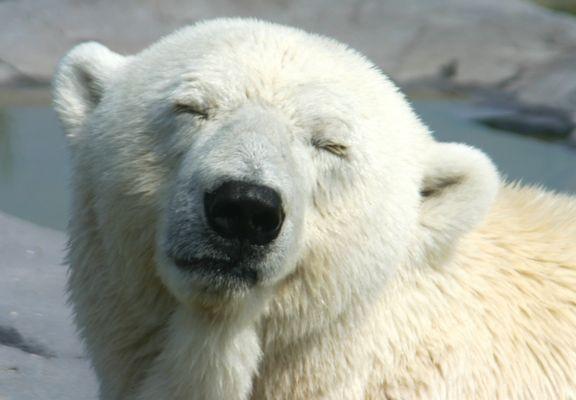 Eisbär 1