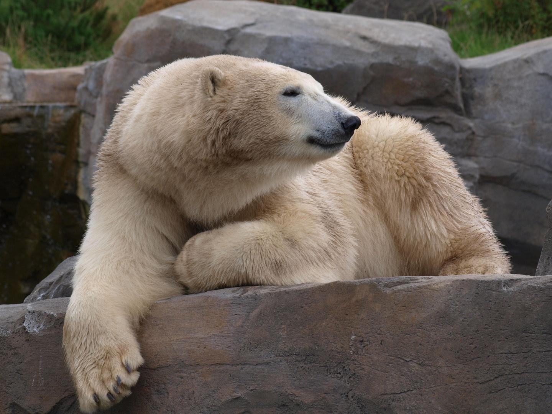 Eisbär 3