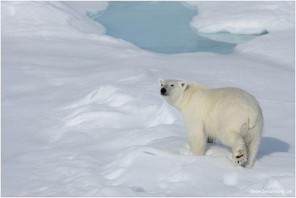 Eisbär am 81° Breitengrad