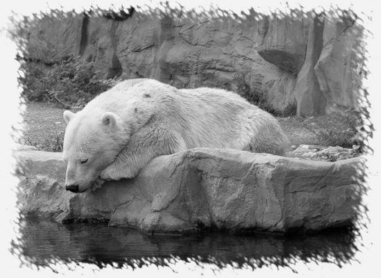 Eisbär - Auf dünnem Eis