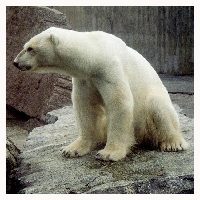 Eisbär aus dem Zoo Wilhelma