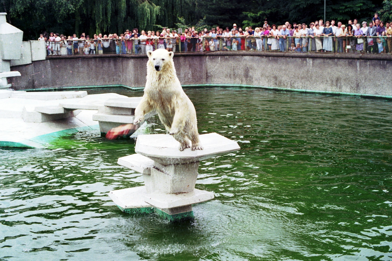 Eisbär bei der Fütterung (2)