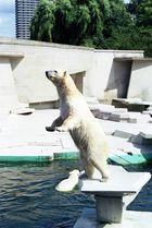 Eisbär bei der Fütterung
