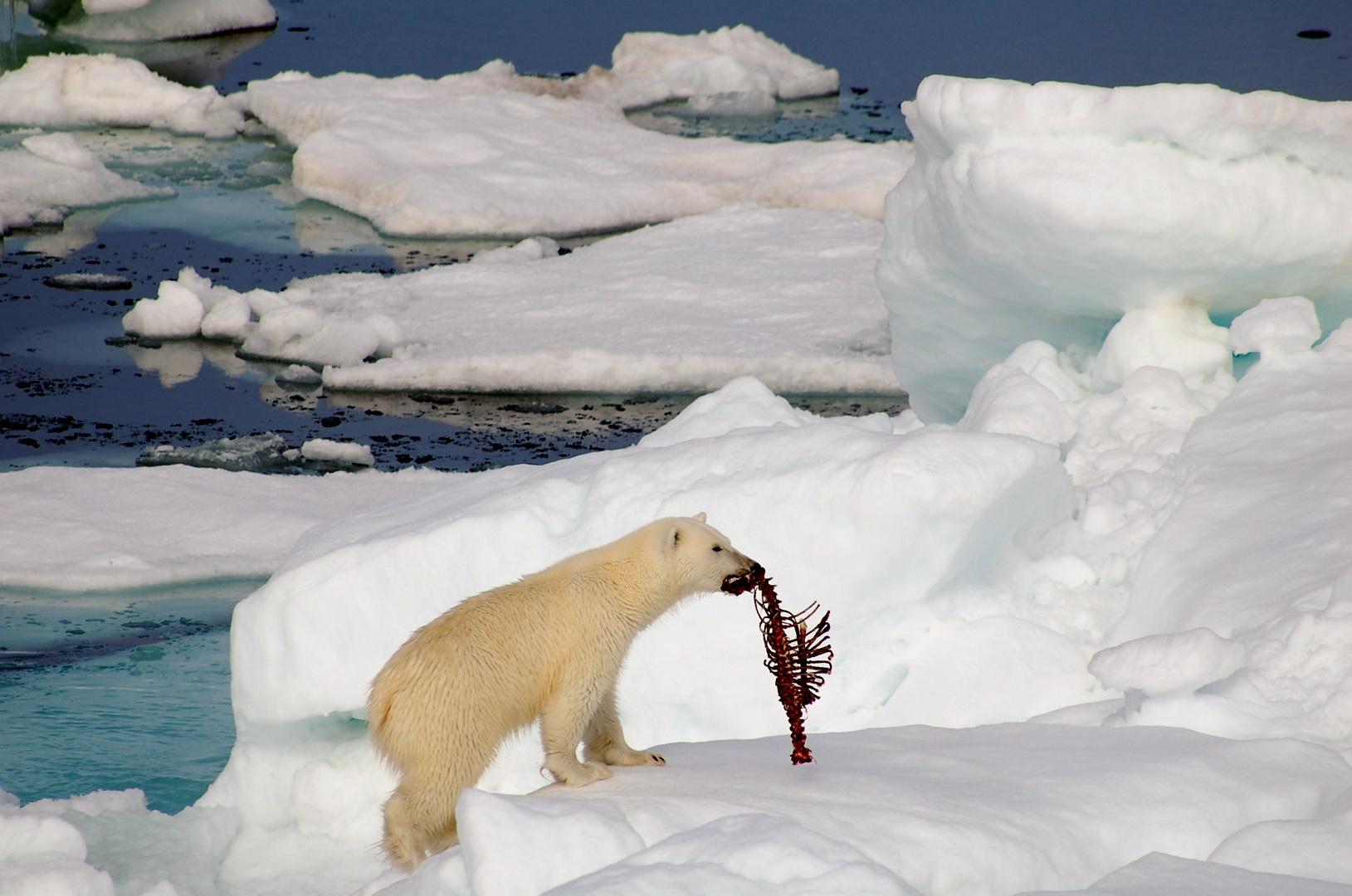 Eisbär beim Fressen