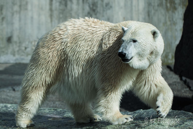 Eisbär Corinna