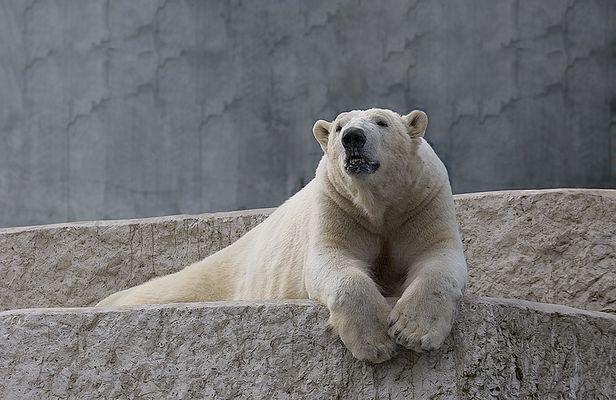 Eis~bär #