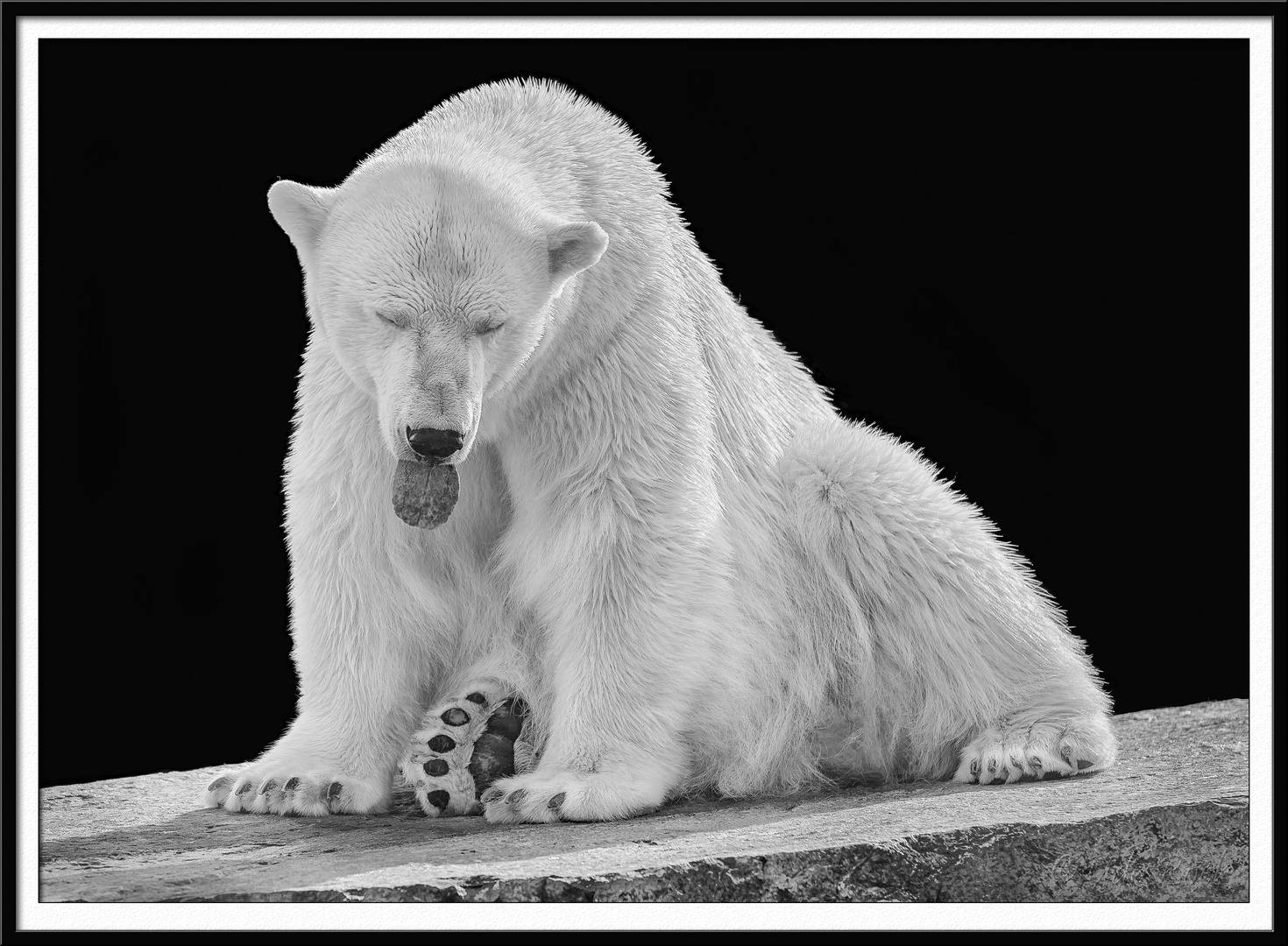 Eisbär, gelangweilt