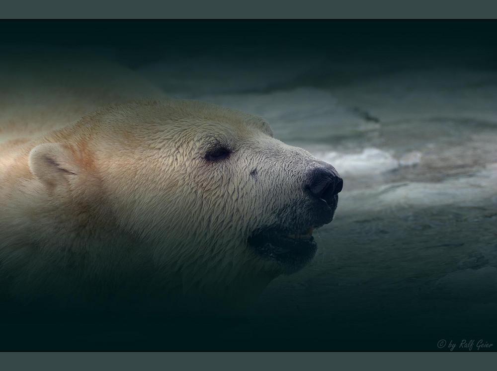 Eisbär im Eis Reloaded