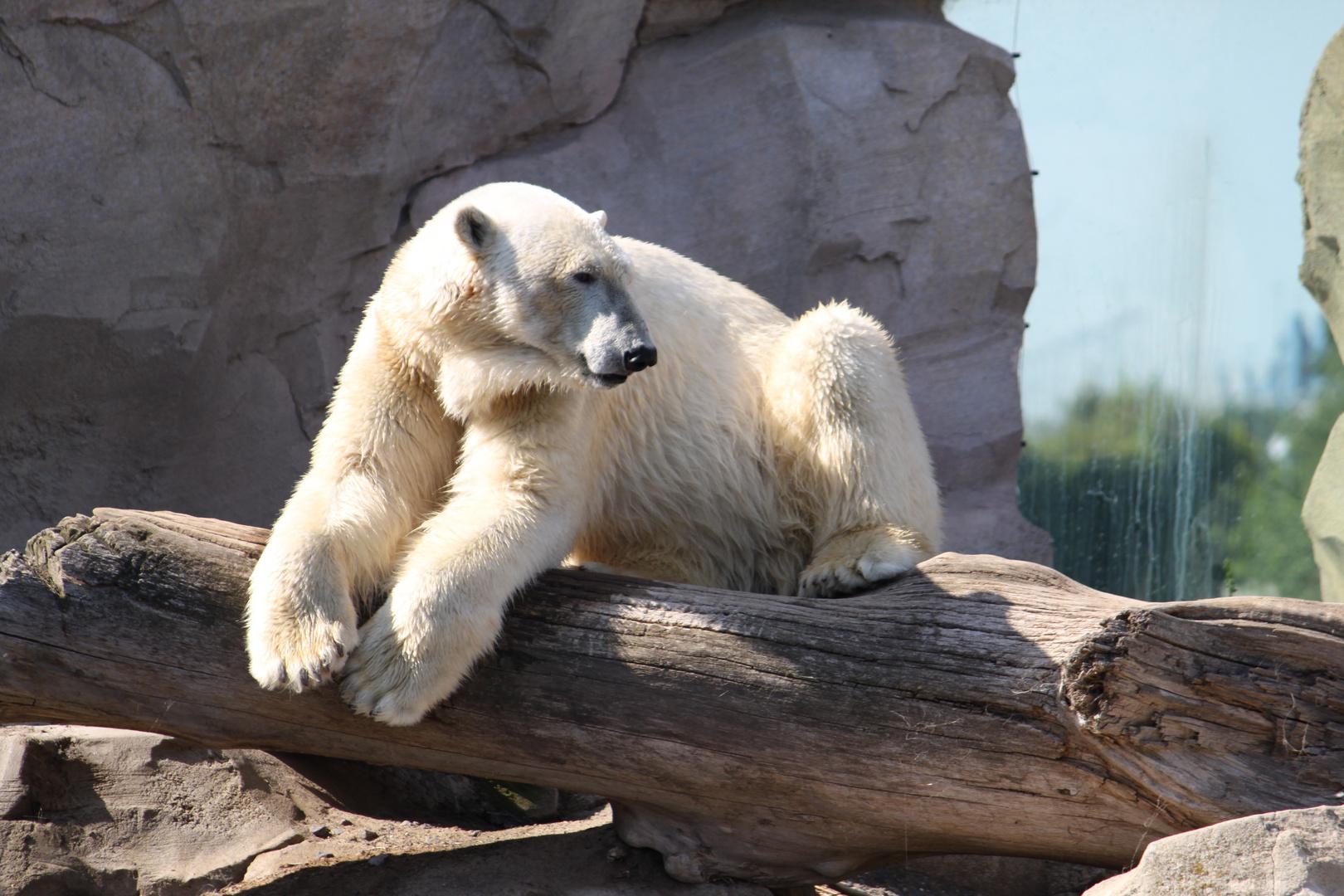 Eisbär im Meereszoo Bremerhaven