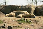 Eisbär im Rotterdamer Zoo (Niederlande) (19.03.2012)