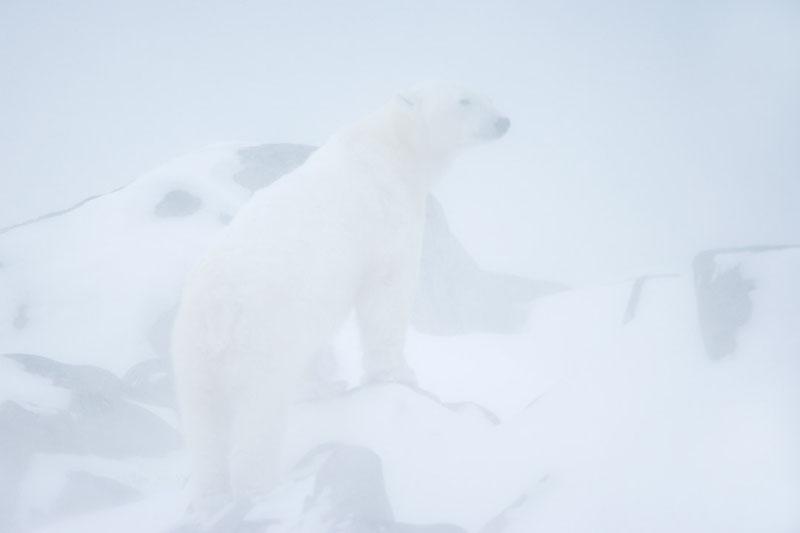 Eisbär im Schneesturm, Polar bear in the blizzard, Canada