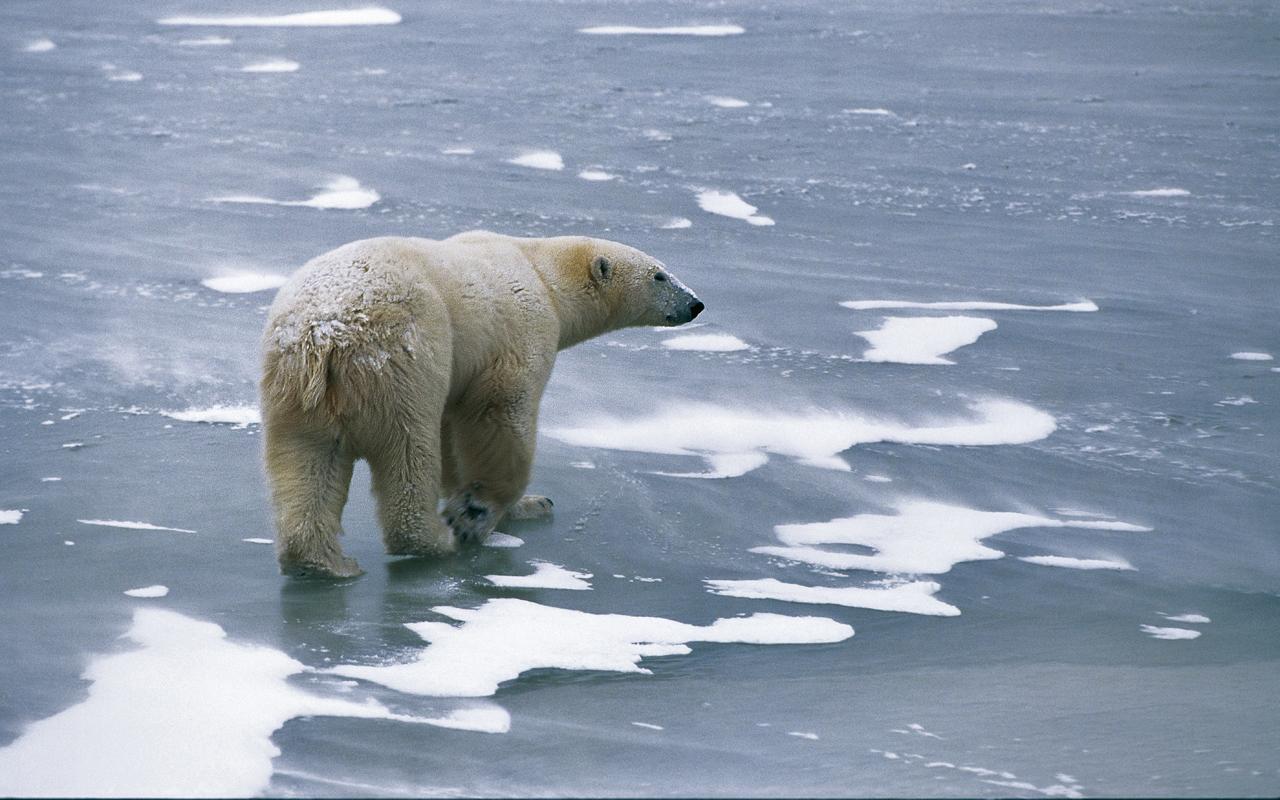 Eisbär im Sturm