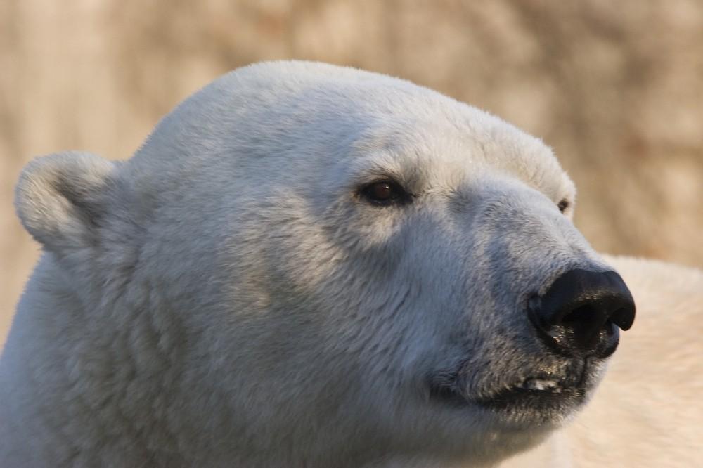 Eisbär im Winter