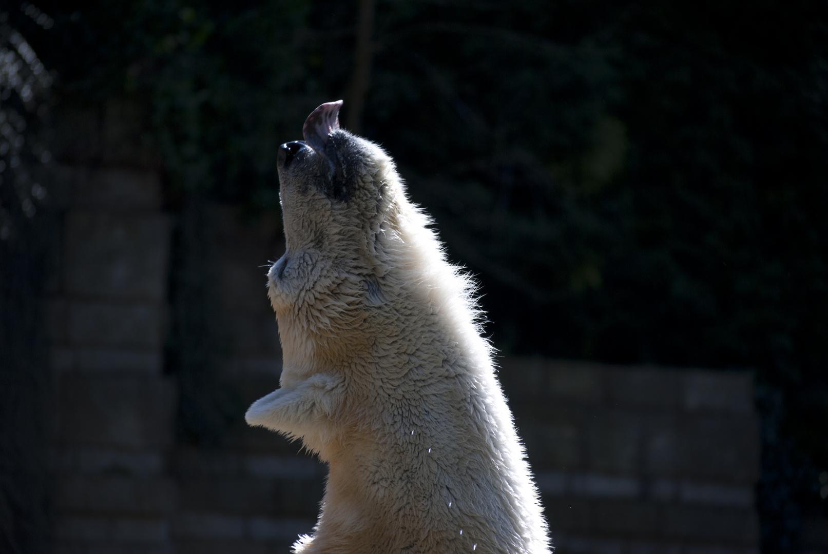 Eisbär im Wuppertaler Zoo