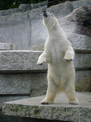 Eisbär im Zoo Karlsruhe