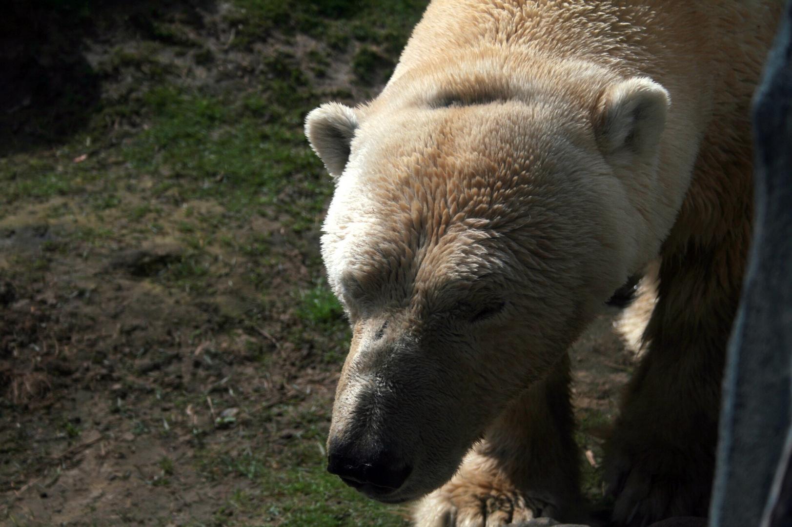 Eisbär im Zoom Erlebniszoo Gelsenkirchen