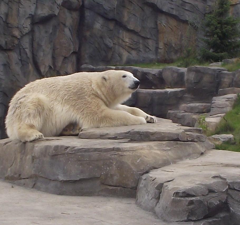 Eisbär in Beobachtung, aber wen oder was ?