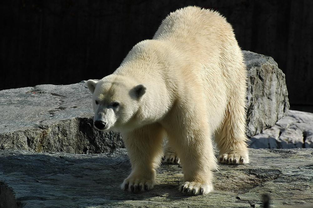 Eisbär in der Wilhelma