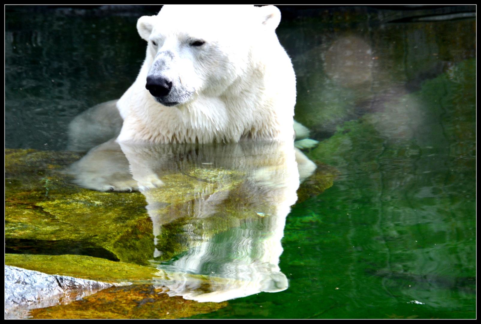 Eisbär in der Wilhelma Stuttgart