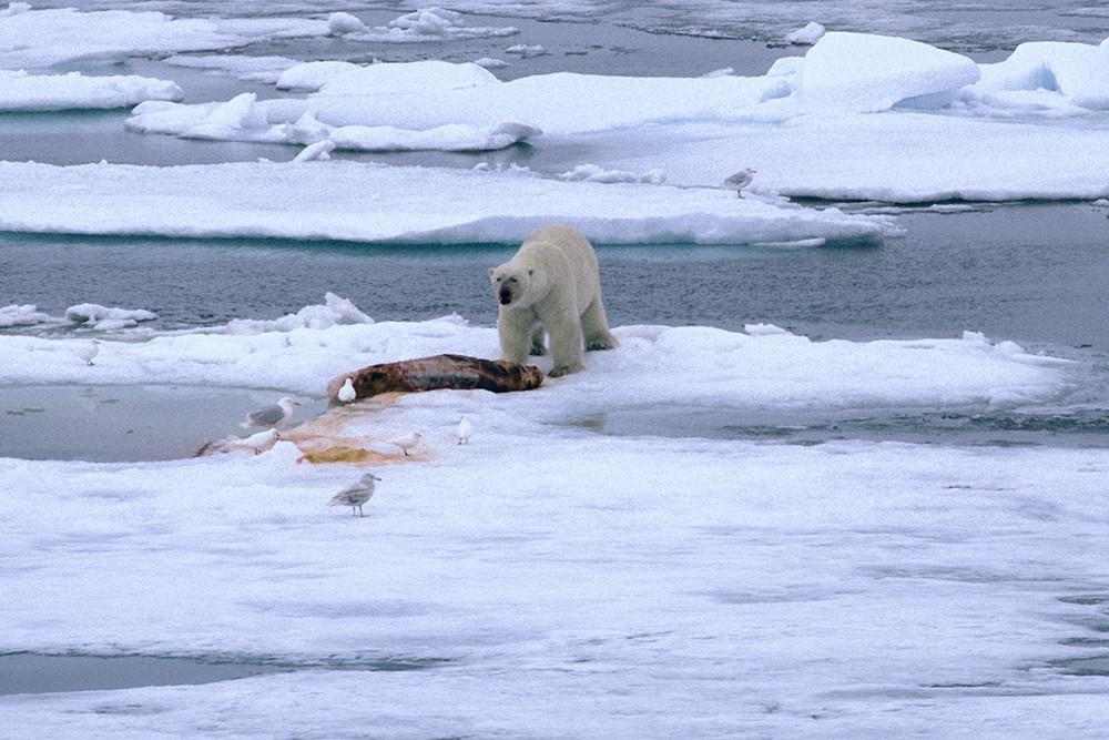 Eisbär mit erbeuteter Robbe.