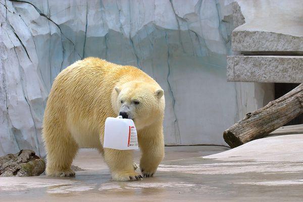 Eis~bär mit Kanister...