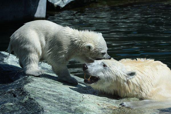 Eisbär-Nachwuchs in der Stuttgarter Wilhelma