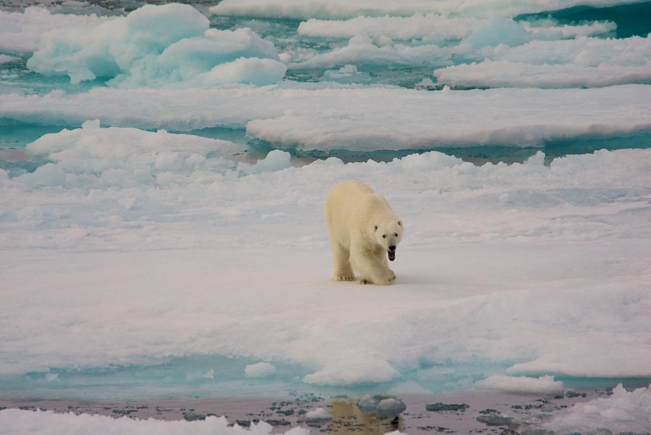 Eisbär - noch etwas müde