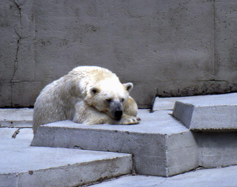 Eisbär - Original