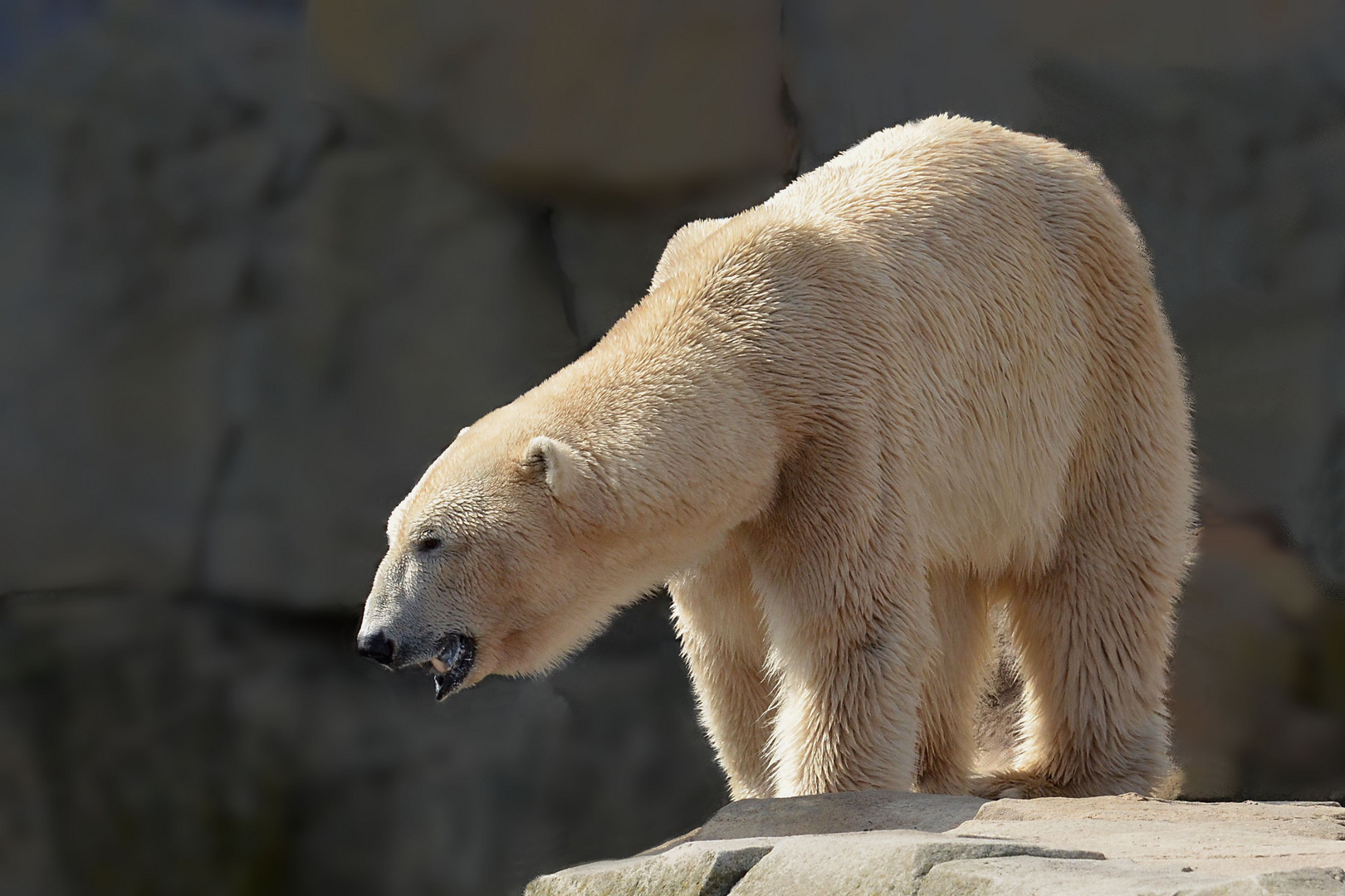 Eisbär-Papa Lloyd