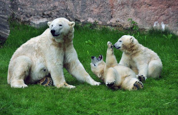 Eisbär-Trio