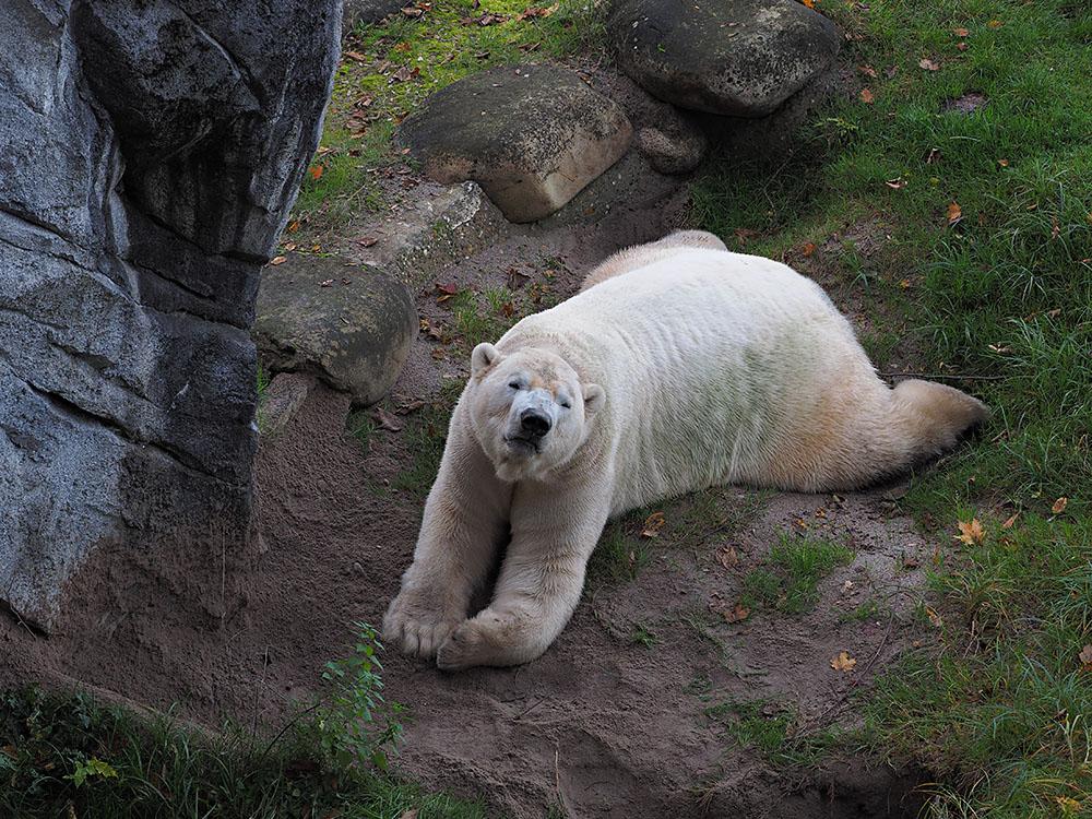 Eisbär Vitus...