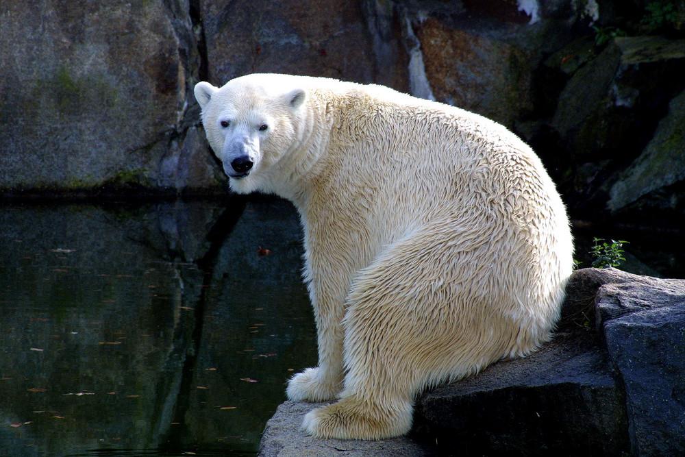 Eisbär Zoo Berlin