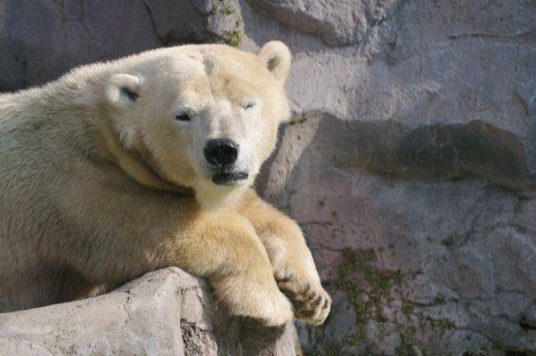 Eisbär Zoom