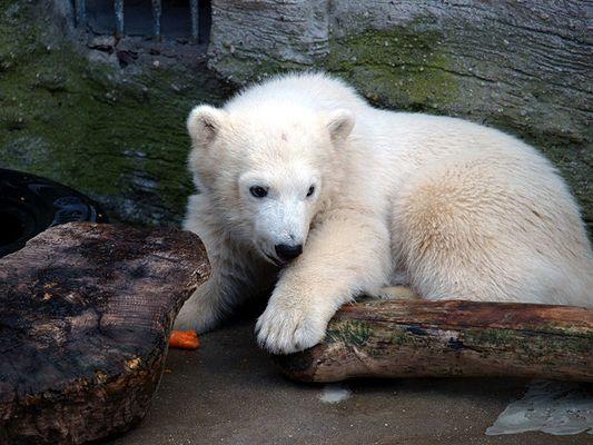 Eisbärbaby Christiane