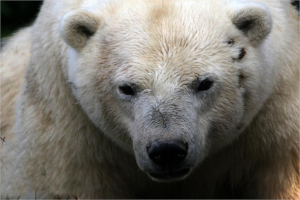 Eisbärblick