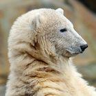 Eisbär(chen)