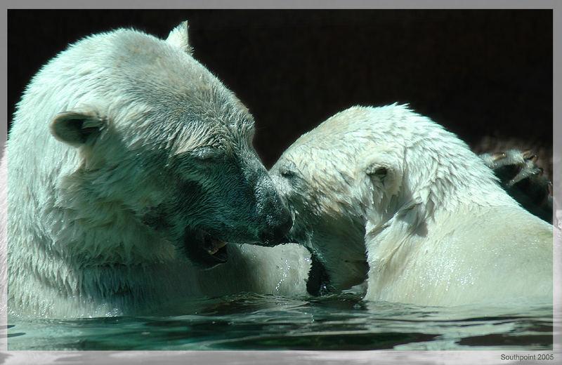 Eisbären beim...