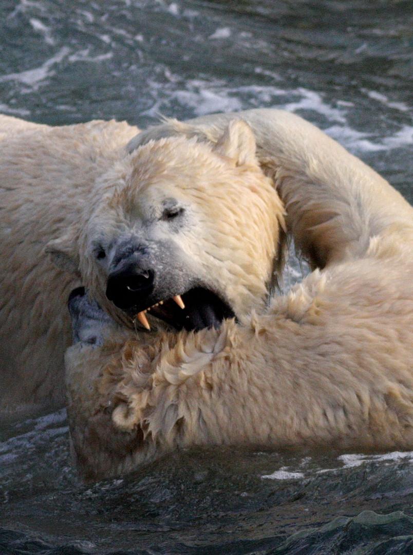 Eisbären Biss
