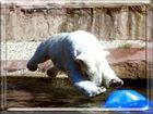 Eisbären - Kopfsprung